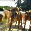 Traqueobronquitis infecciosa canina (tos de las perreras)