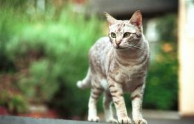 Campaña esterilización gatas: Estamos en época de celo!!