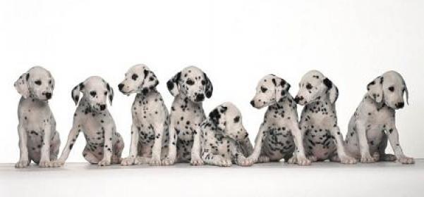 Diagnósticos gestación en perros