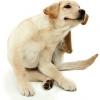 Prurito en el perro (parte II)