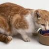 Las necesidades nutricionales del gato mayor